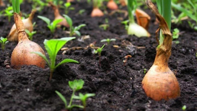Технология посадки лука-севка весной: как правильно садить и выращивать