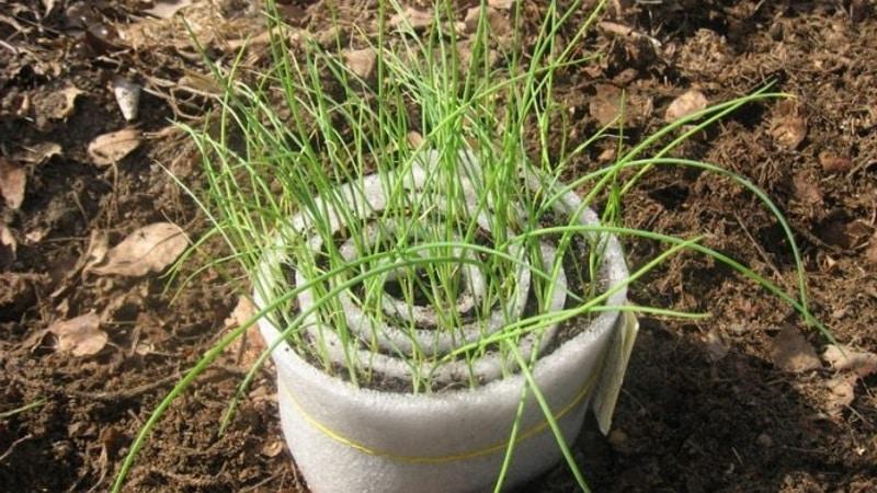 Пошаговая инструкция: как вырастить лук-порей рассадой