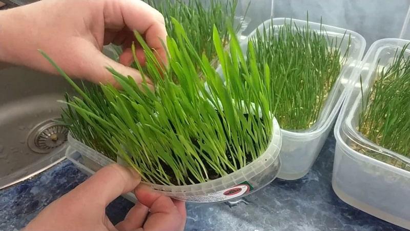 Пошаговое руководство, как прорастить пшеницу в домашних условиях