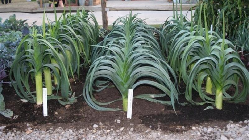 Лук-порей выращивание из семян в домашних условиях рассадой открытый грунт