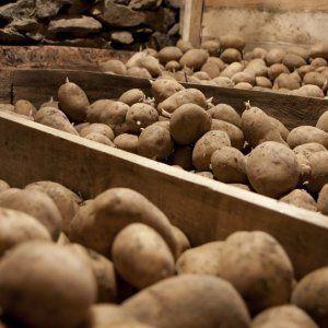 Правила хранения картофеля в погребе