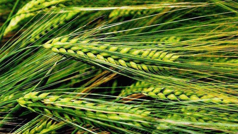 Правила выращивания озимого ячменя