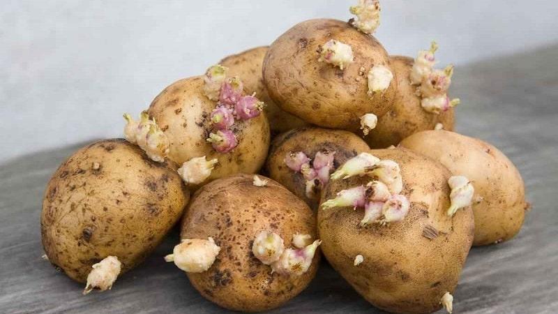 Проросшая картошка: что с ней делать и можно ли ее есть