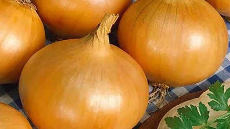 """Раннеспелый сорт лука для универсального применения """"Стригуновский местный"""""""