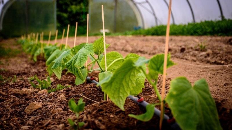 Народные средства для лучшего урожая огурцов: рецепты подкормок для открытого грунта