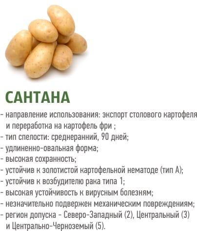 """Среднеранний сорт картофеля """"Сантана"""" с крупными клубнями"""