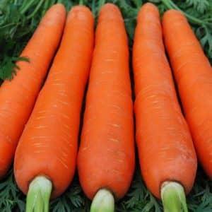 Крупный сорт моркови Красный великан