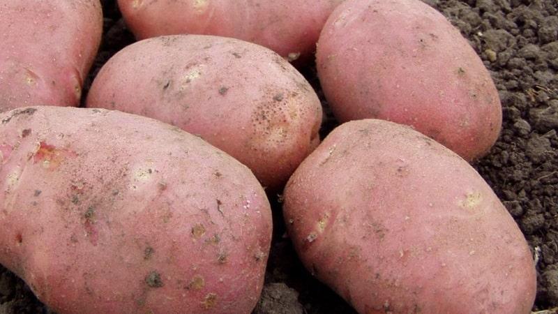 Среднепоздний сорт картофеля Алладин, подходящий для различных климатических условий