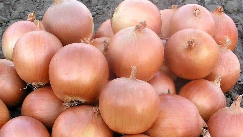 """Среднеранний гибрид лука """"Хеленас"""" с высокой урожайностью"""