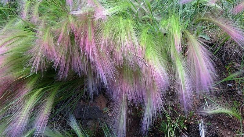 Выращивание и уход за ячменем гривастым и его применение в ландшафтном дизайне