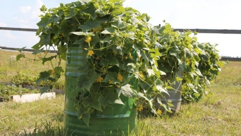 Пошаговое выращивание огурцов в бочке, фото и полезные советы