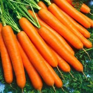Высокоурожайный гибрид моркови Санькина любовь