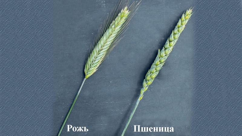 Сходства и отличия пшеницы от ржи во внешнем виде, составе и применении