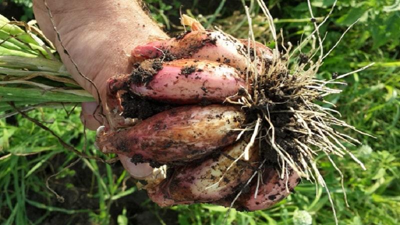 Выращивание лука шалота и уход за ним, фото урожая и секреты агротехники