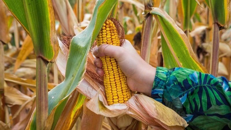 Как происходит сушка кукурузы в промышленных масштабах и как высушить её в домашних условиях
