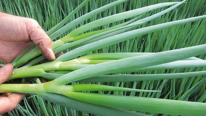 Как правильно выращивать лук батун: посадка и уход в открытом грунте