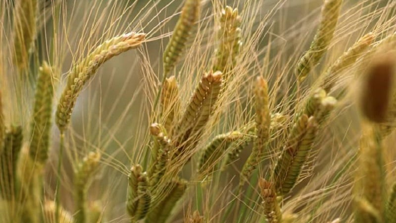 Что такое пшеница полба и чем хороша эта крупа