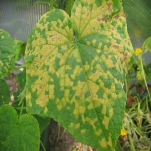 7 основных причин белого налета на огурцах и листьях