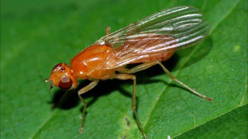 Чем опасны морковные мухи и как эффективно с ними бороться