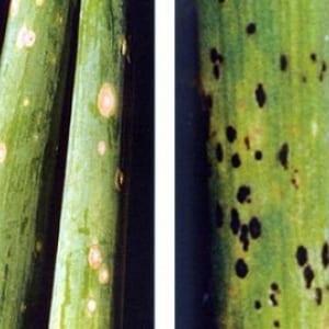 Как получить богатый урожай лука батуна: выращивание и уход, фото овоща