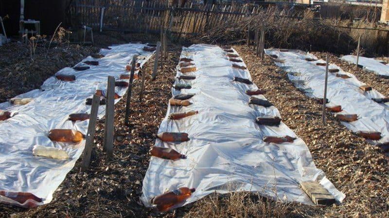 Выбираем, чем укрыть лук на зиму от мороза и изучаем нюансы процесса