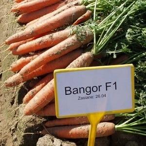 Что общего у моркови Вита Лонга и Бангор F1