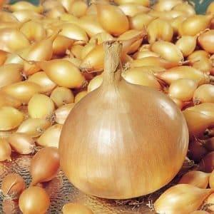 """Ранний высокоурожайный гибрид лука """"Купидо"""" для выращивания в теплице и в открытом грунте"""