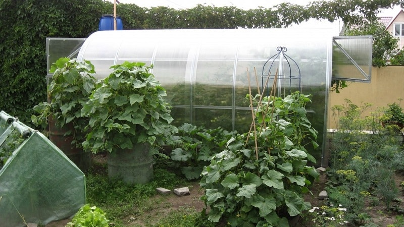 Как пасынковать огурцы в теплице и другие методы ухода от посадки до урожая