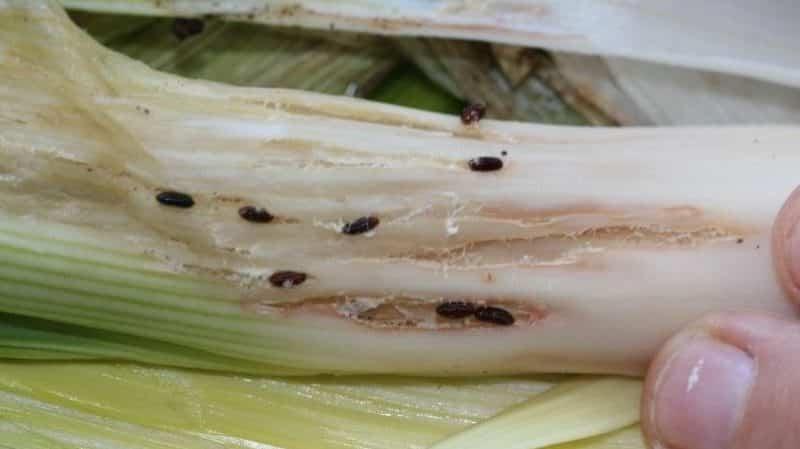 Как избавиться от луковых мошек