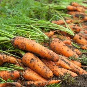 Сохраняем урожай правильно: как обрезать морковь для хранения на зиму и зачем это нужно