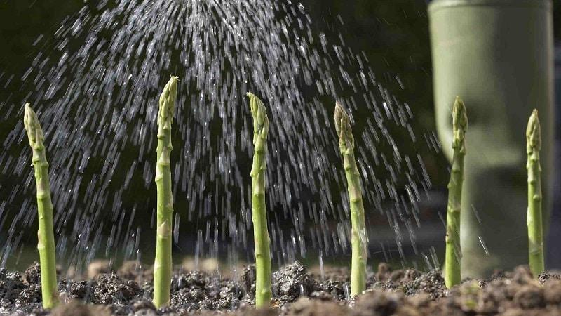 Как подготовить спаржу к зиме: пошаговое руководство по осенней подготовке грядок