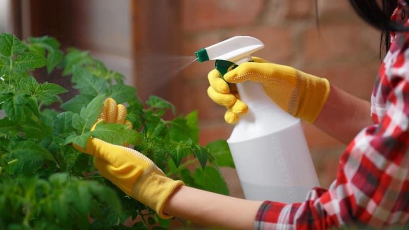 Как правильно использовать молоко, йод и воду для обработки помидоров и чем это полезно