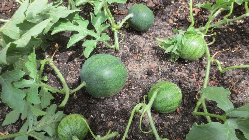 Пошаговая инструкция для начинающих огородников: как прищипывать арбузы в открытом грунте