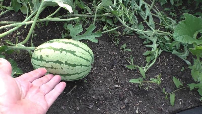 Чем хорош арбуз без семечек, каких сортов бывает и как его выращивать