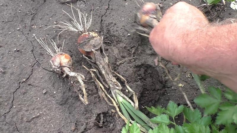 Как выращивать лук чернушку: посадка и уход в открытом грунте поэтапно