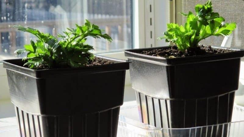 Выращивание и уход за сельдереем в открытом грунте