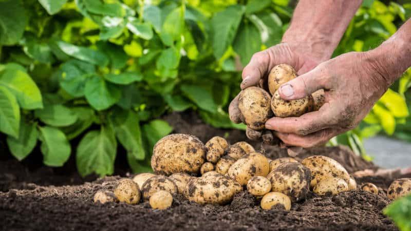 Какой бывает калибр картофеля (таблица) и что он означает
