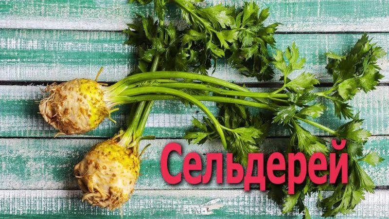 Как использовать сельдерей корневой в пищу