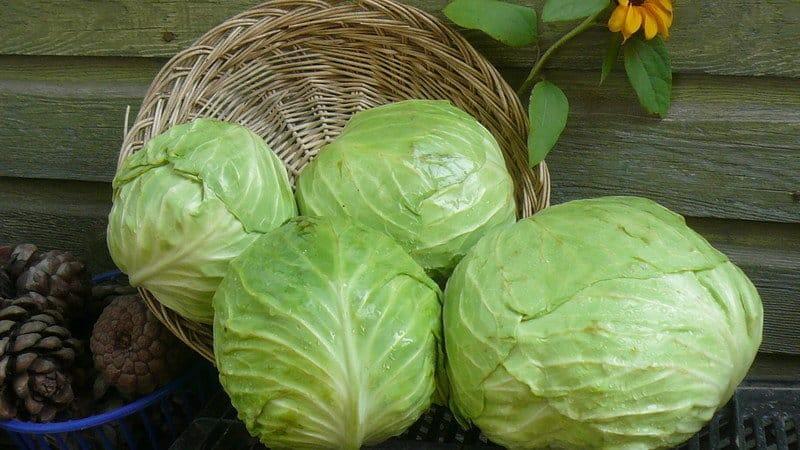 Лучшие рецепты заготовок капусты в томатном соке на зиму без стерилизации