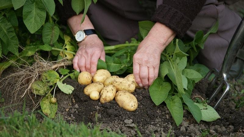 Лучшие сибирские сорта картофеля и полезные советы по их выращиванию