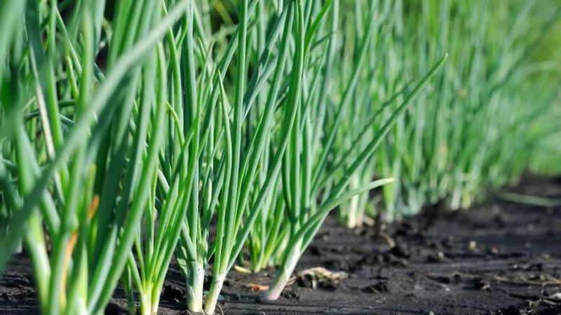 """Морозостойкий лук """"Батун"""" и особенности его выращивания"""