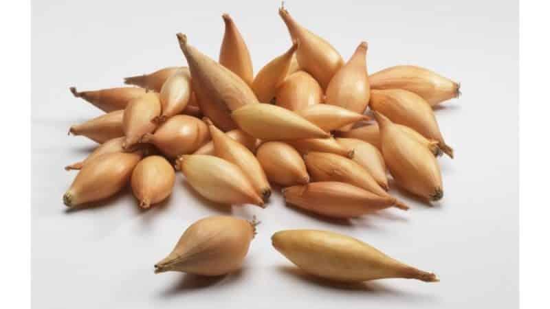 """Раннеспелый сорт лука """"Олина"""" с отменной урожайностью и отличным вкусом"""