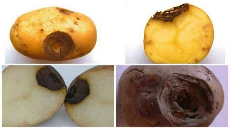 Почему на картофеле пятна: меры борьбы с железистой пятнистостью и другими заболеваниями