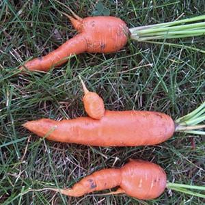 Причины, почему морковь корявая и рогатая и методы выращивания ровных корнеплодов