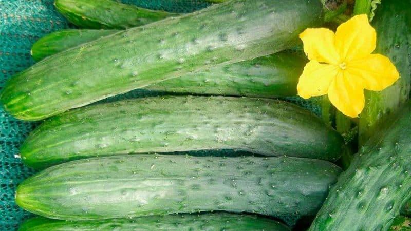 Нюансы консервации длинных огурцов: можно ли консервировать огурцы Зозуля на зиму и как это сделать вкусно и просто