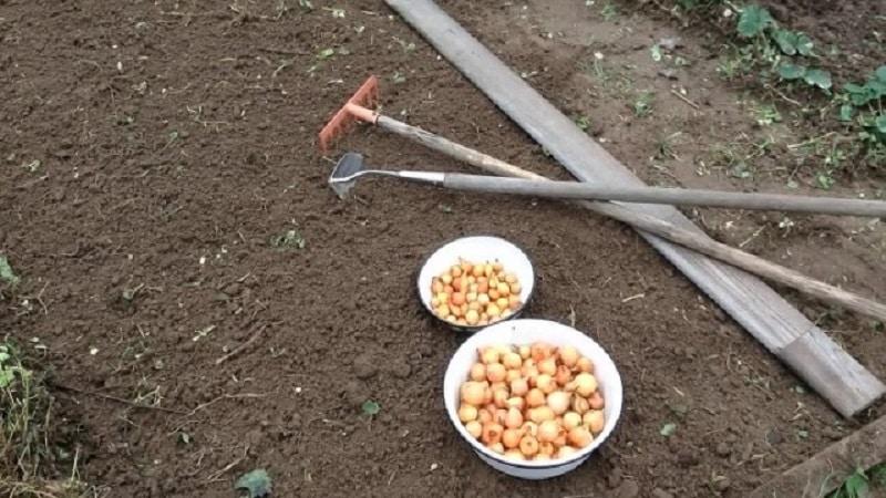 Зачем обрезают лук при посадке под зиму и нужно ли это делать