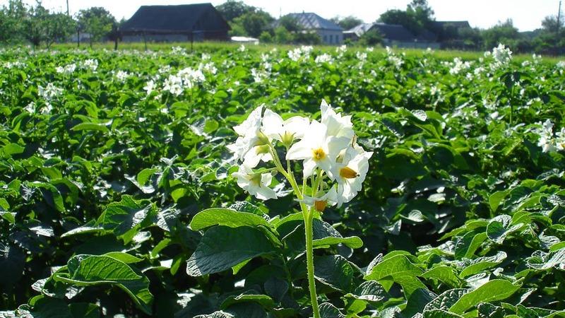 Что делать, если не цветет картофель и почему так происходит