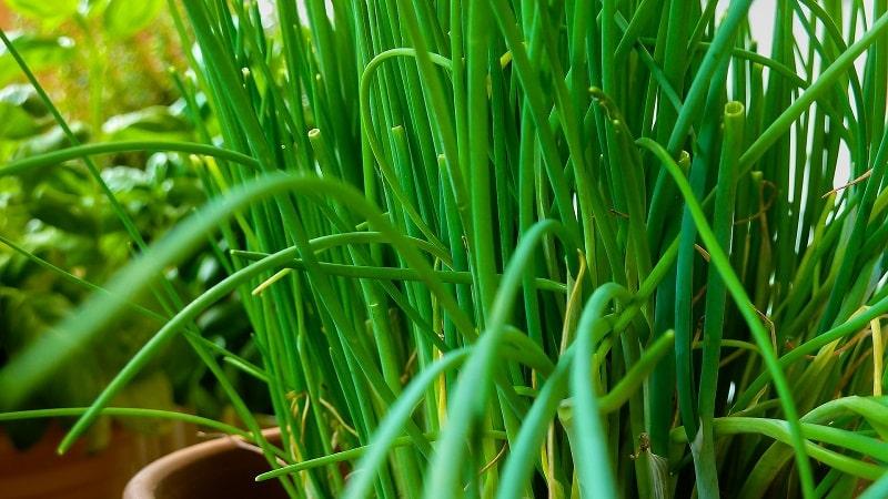 Польза и вред зеленого лука для здоровья человека