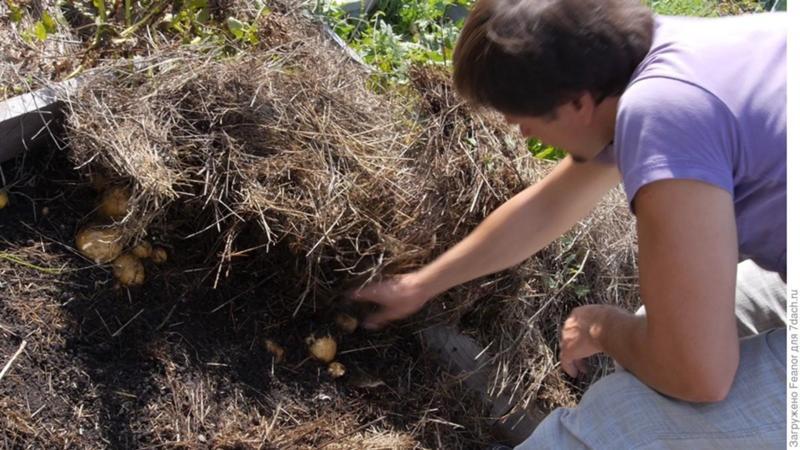 Как правильно посадить картофель под солому в огороде