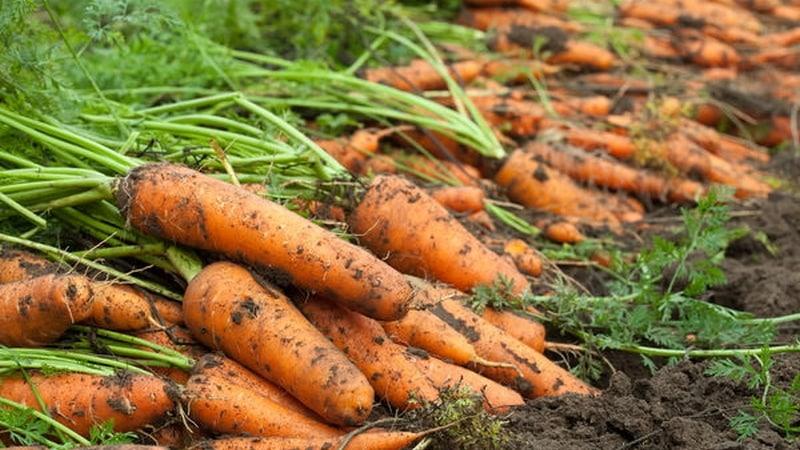 Пошаговая инструкция по выращиванию моркови с нуля